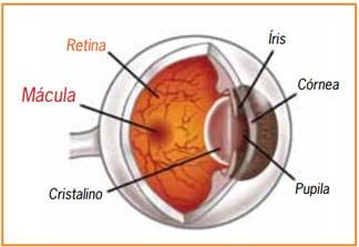 DMRI - partes do olho